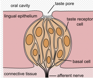 diagram of taste bud