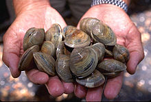 Hands holding Littleneck Clams