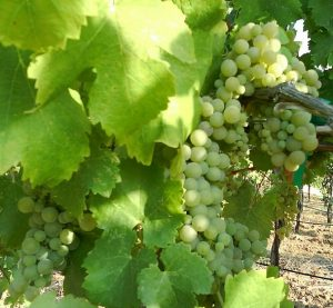 Viognier grapes ripening on a vine in Amador county, California.
